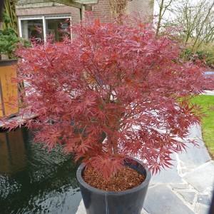 Acer palmatum 'Pevé Dave' (Son & Koot BV)