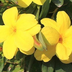 Gelsemium sempervirens (Flora Toscana)