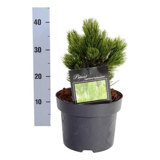 Pinus heldreichii 'Compact Gem' (Boomkamp Boomkwekerijen B.V.)