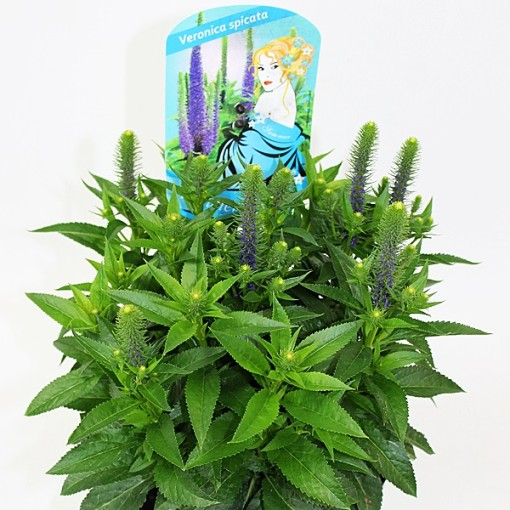 Veronica spicata MIX (Experts in Green)