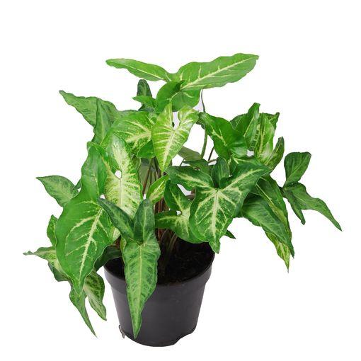 Syngonium angustatum (Van der Arend Tropical Plantcenter)