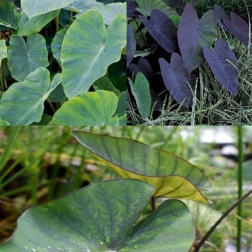Colocasia MIX (Moerings Waterplanten)