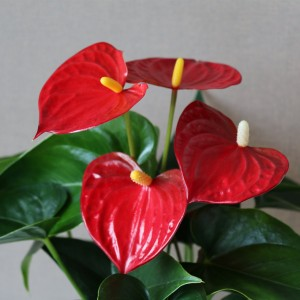 Anthurium SIERRA (Karma Plants)