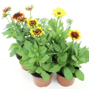 Rudbeckia SUMMERINA MIX