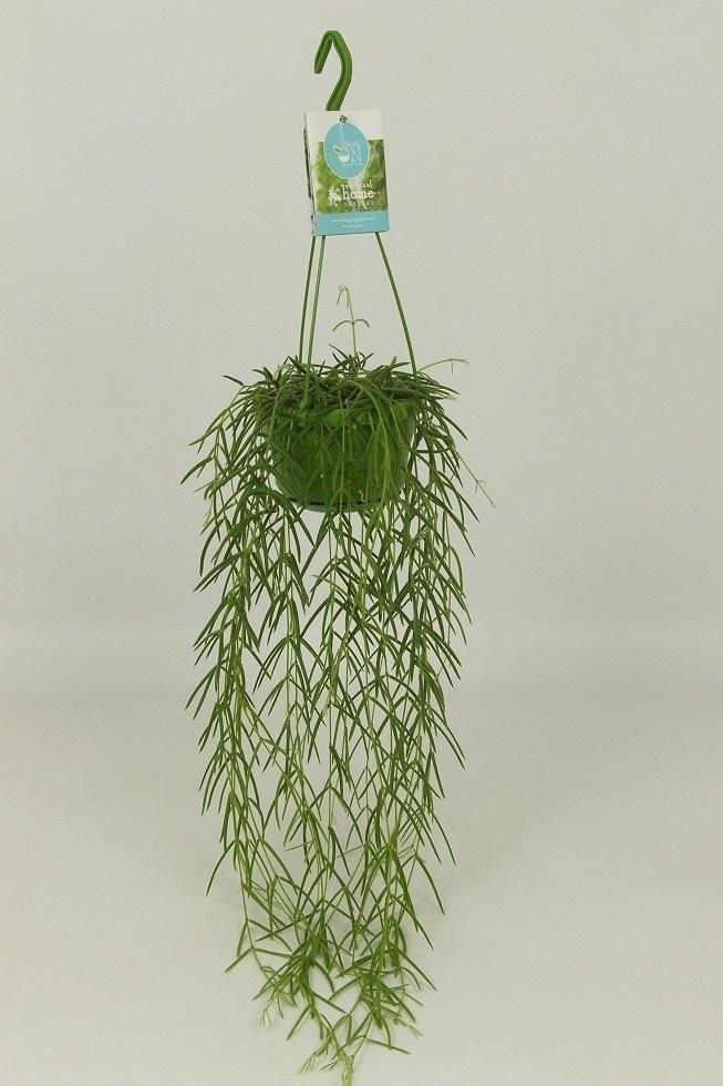 Fast N Fresh >> Hoya linearis (P14cm H35cm) – Plant Wholesale FlorAccess
