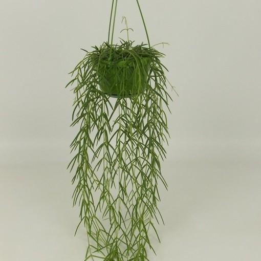 Hoya linearis (Elstgeest)