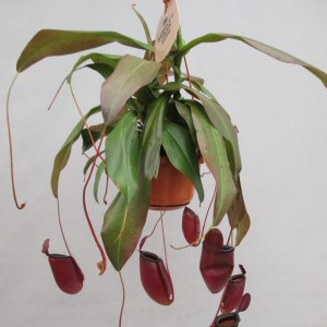 Nepenthes 'Dark Secret'