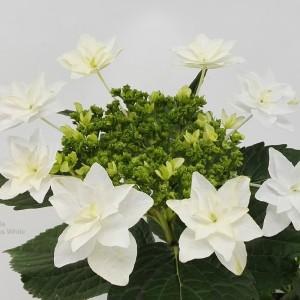 Hydrangea macrophylla 'Vuurwerk Wit' (Hofstede Hovaria)
