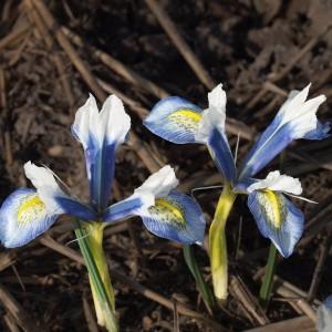 Iris reticulata 'Sea Breeze' (Kwekerij MJ Komen)