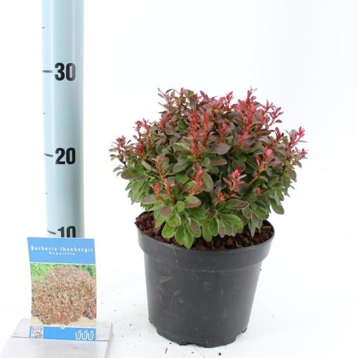 Berberis thunbergii 'Bagatelle' (About Plants Zundert BV)