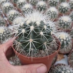 Echinocactus grusonii 'Albispina'
