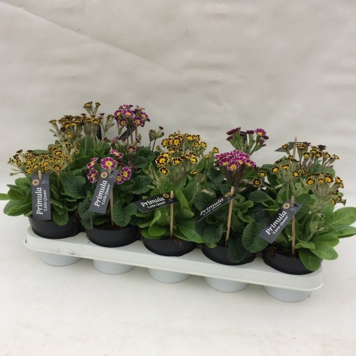 Primula veris LITTLE QUEEN MIX (Liesvelden Kwekerij)