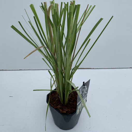 Cortaderia selloana (Cammeraat Potcultuur)