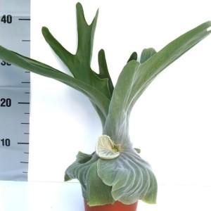 Platycerium superbum (Ruhé Varens B.V.)