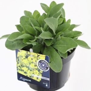 Alyssum saxatile (Kwekerij de Noordpoel)