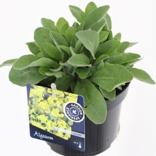 Alyssum saxatile (Noordpoel, Kwekerij de)