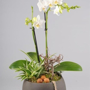 Arrangements Phalaenopsis 'PHAL-1731' (Mixt Creation BV)
