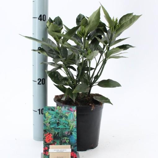 Aucuba japonica 'Rozannie' (About Plants Zundert BV)