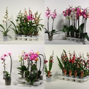 FA Orchids SELECTION #108
