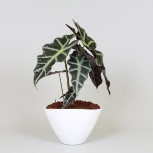 Arrangements Alocasia