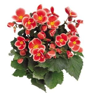 Begonia AIDA