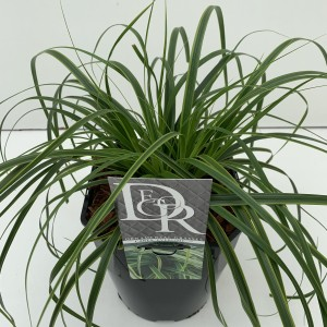 Carex oshimensis EVERCOLOR EVERLIME