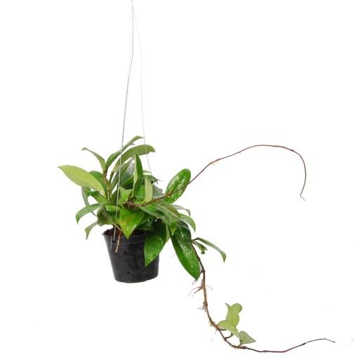 Hoya pubicalyx (Van der Arend Tropical Plantcenter)