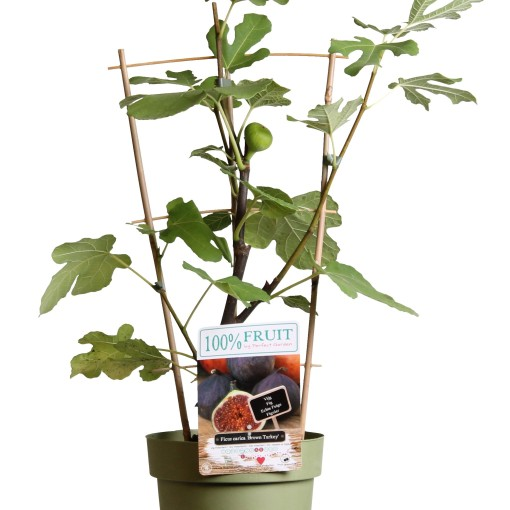 Ficus carica 'Brown Turkey' (Hoogeveen Plants)