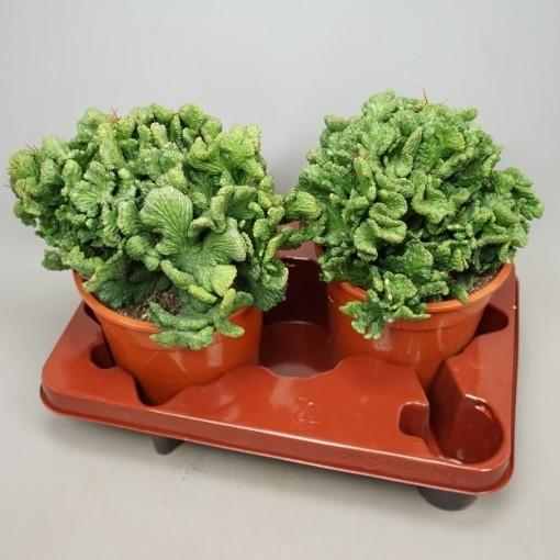 Euphorbia enopla cristata (Ubink)
