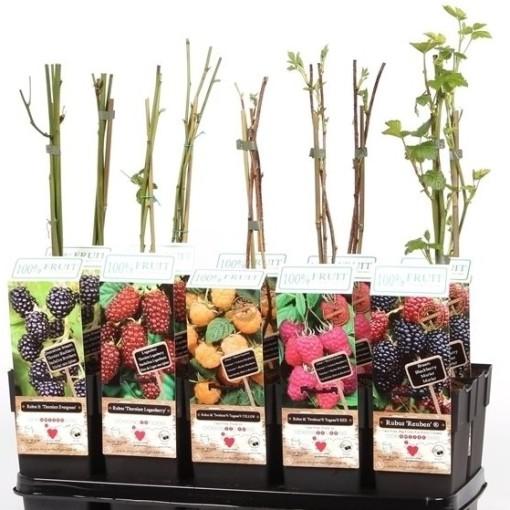 Rubus MIX (Hoogeveen Plants)
