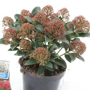 Skimmia japonica PINK DWARF