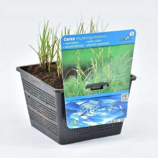 Carex muskingumensis (Moerings Waterplanten)