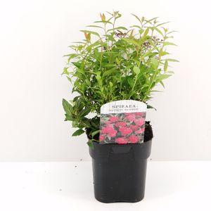 Spiraea japonica 'Anthony Waterer' (Hooftman boomkwekerij)
