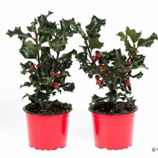 Ilex aquifolium (Gasa DK)
