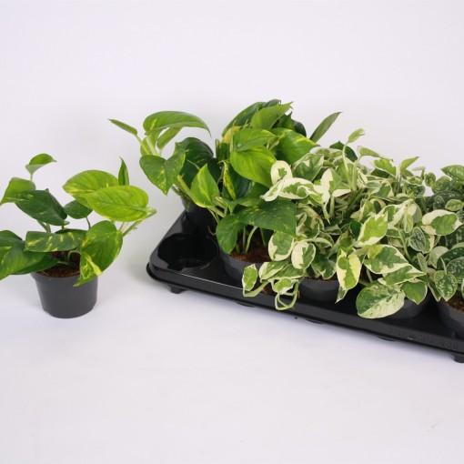 Hanging plants MIX (Kap Scindapsus)