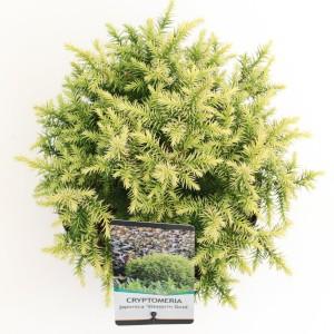 Cryptomeria japonica 'Vilmorin Gold' (Bremmer Boomkwekerijen)