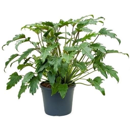 Philodendron xanadu (Nieuwkoop Europe B.V.)