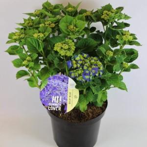 Hydrangea macrophylla MIX (Rijnbeek Boomkwekerijen B.V.)