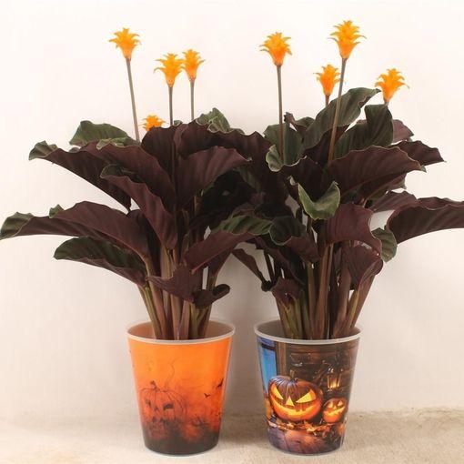 Calathea crocata TASSMINIA (Tass)