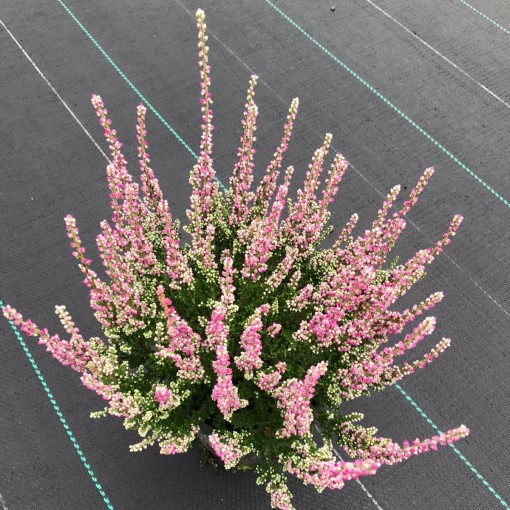 Calluna vulgaris 'Dark Star' (Experts in Green)