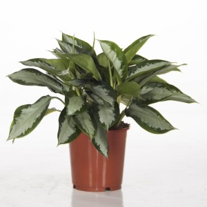 Aglaonema 'Silver Moon' (Ammerlaan, The Green Innovater)