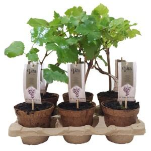 Vitis 'Spulga' (BOGREEN Outdoor Plants)