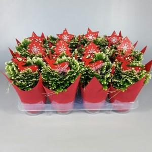 Selaginella martensii 'Jori'