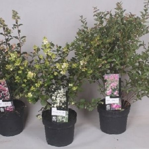 Symphoricarpos MAGICAL MIX