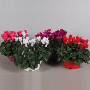 Cyclamen persicum SUPER SERIE S ALLURE MIX