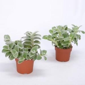 Tradescantia zebrina 'Velvet Hill' (Bunnik Plants)