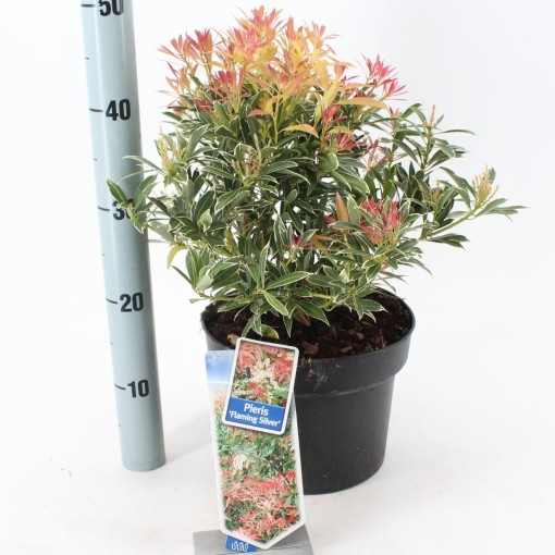 Pieris 'Flaming Silver' (About Plants Zundert BV)