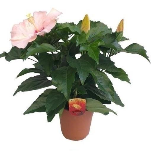 Hibiscus rosa-sinensis 'Adonicus Pearl' (Wilgenlei b.v.)