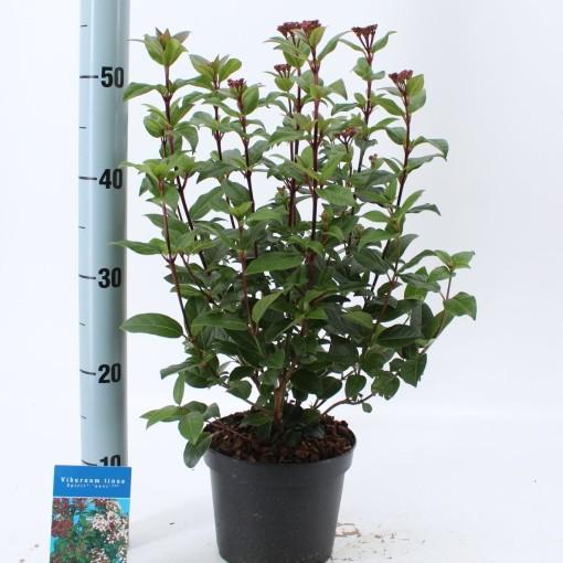 Viburnum tinus SPIRIT (About Plants Zundert BV)