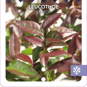 Leucothoe LOVITA (Snepvangers Tuinplanten BV)
